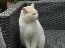Cat found Oswaldtwistle Lancashire
