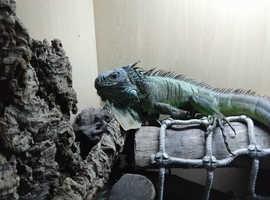 Male green iguana and full setup