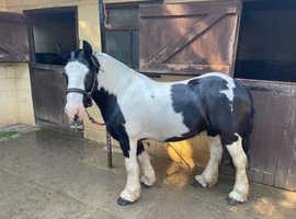 Friendly 13.1hh mare