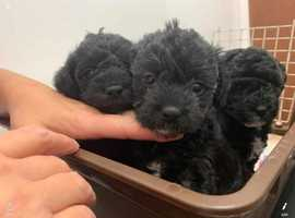 Adorable, Fluffy, Yorkipoo Puppies: