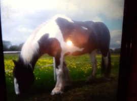 **coloured cob mare**offers***