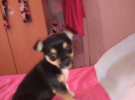 Chorkie boy pup