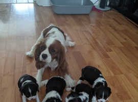 Cavalier King Charles Spaniel -  one available