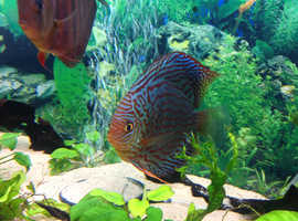 Blue turquoise snakeskin discus fish