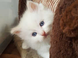 ragdoll kittens  one boy left red flame