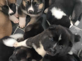 Akita puppys ready for there new home