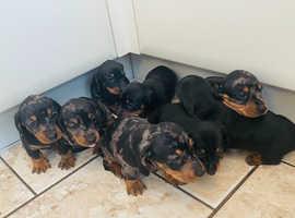 8 beautiful dachshund puppies