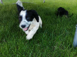 Six stunning cocker spaniel puppies for sale!