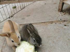 Female baby rabbits