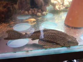 "For sale 6""pleco"