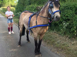 Beautiful Dun Connemara Mare for sale