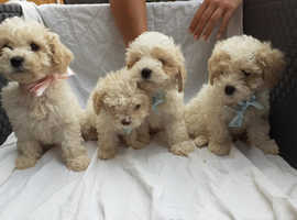 !! 4 BEAUTIFUL CAVACHON PUPS FOR SALE !!
