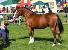 Champion Welsh section C