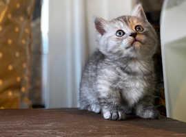 super cute Munchkin kittens