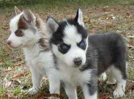 looking for a mini husky, pomsky or pomeranian puppy