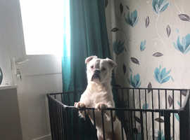 Lovely old tyme bulldog For sale