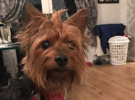 Yorkie Russell