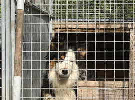 Farm reared collies only one girl and 3 boys left