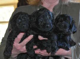 Beautiful F2 Shnoodle Puppies