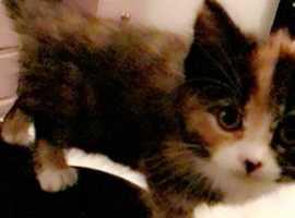 Tortoiseshell kittens for sale
