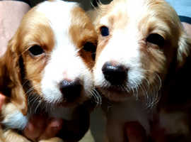 Pedigree Cocker Spaniel puppies