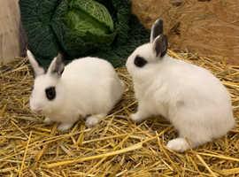 2 stunning dwarf hotot rabbit bucks Male
