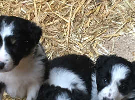 Collies pups for sale ready on 12 December will be wormed and chipped and vaccinated. Chip and vac will be done by vet