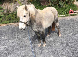 Dartmoor pony for sale