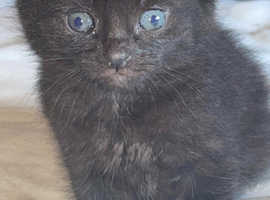 Beautiful Russian black kitten boy available