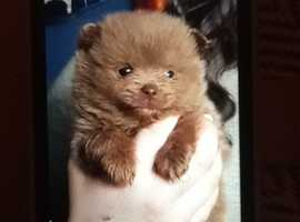 Pomeranian puppies 1 blue 1 chocolate