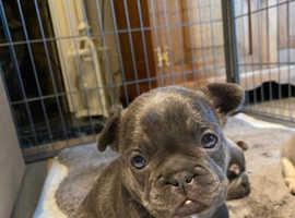 KC lilac tan /blue french bull dog puppies