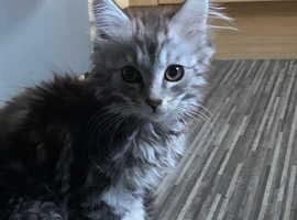 Beautiful silver Maine coon kitten
