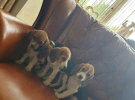 *Stunning Litter Of Tri-Coloured Beagle Puppies*