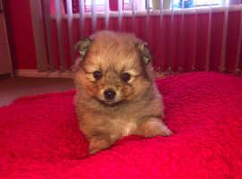 Last Female Gorgeous Pomeranian Puppy