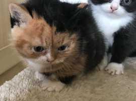 British Shorthair kittens - girls and boys