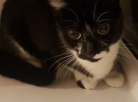 Young Female Tuxedo Cat