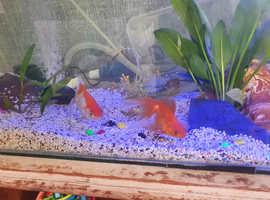 2 fancy gold fish