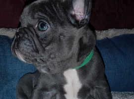 Blue girl French Bulldog 8 weeks old
