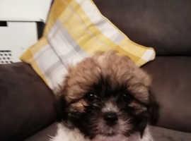 Shichion puppy
