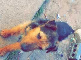 Male Lakeland terrier for sale
