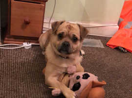 Pug cross