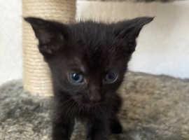 Black newborn kittens