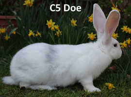 Pure Bred Continental Giant Rabbit C5 Doe
