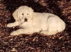 Stunning golden retriever male pup