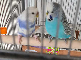 Pair of budgies complete with cage. Have bred several times