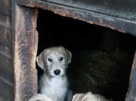 Wheaton X greyhound saluki X greyhound puppies