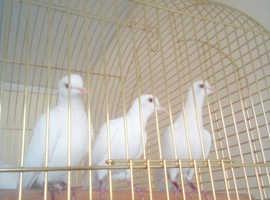 Magician doves pure white