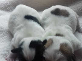 Stunning Jack Russel x Shih tzu pups