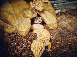 3x leopard geckos + Vivarium