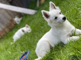 3 beautiful spitzes puppies